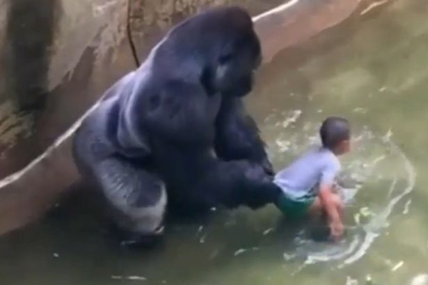New Footage Suggests Gorilla Was Trying To Protect Boy VID Harambe a male silverback gorilla at Cincinnati Zoo 3