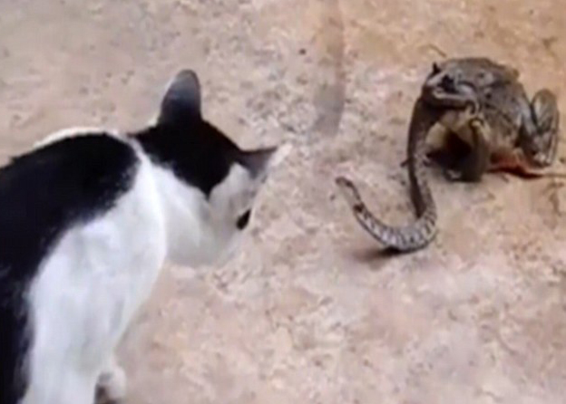 catsnake1 1 Bizarre Footage Shows Cat Fight Snake That Is Being Eaten Alive By Toad