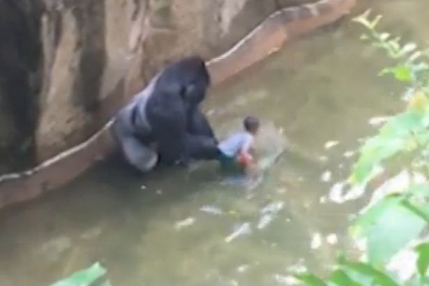 gorilla2 Endangered Gorilla Shot Dead After Grabbing Child Who Fell Into Enclosure