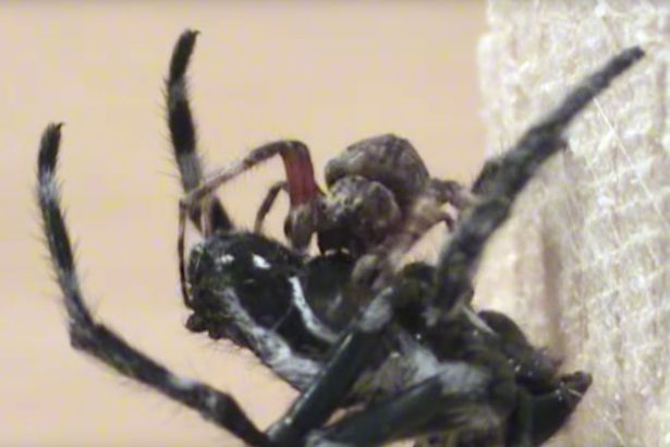 spider2 Giant Female Spiders Are Forcing Males To Perform Oral Sex, A Lot