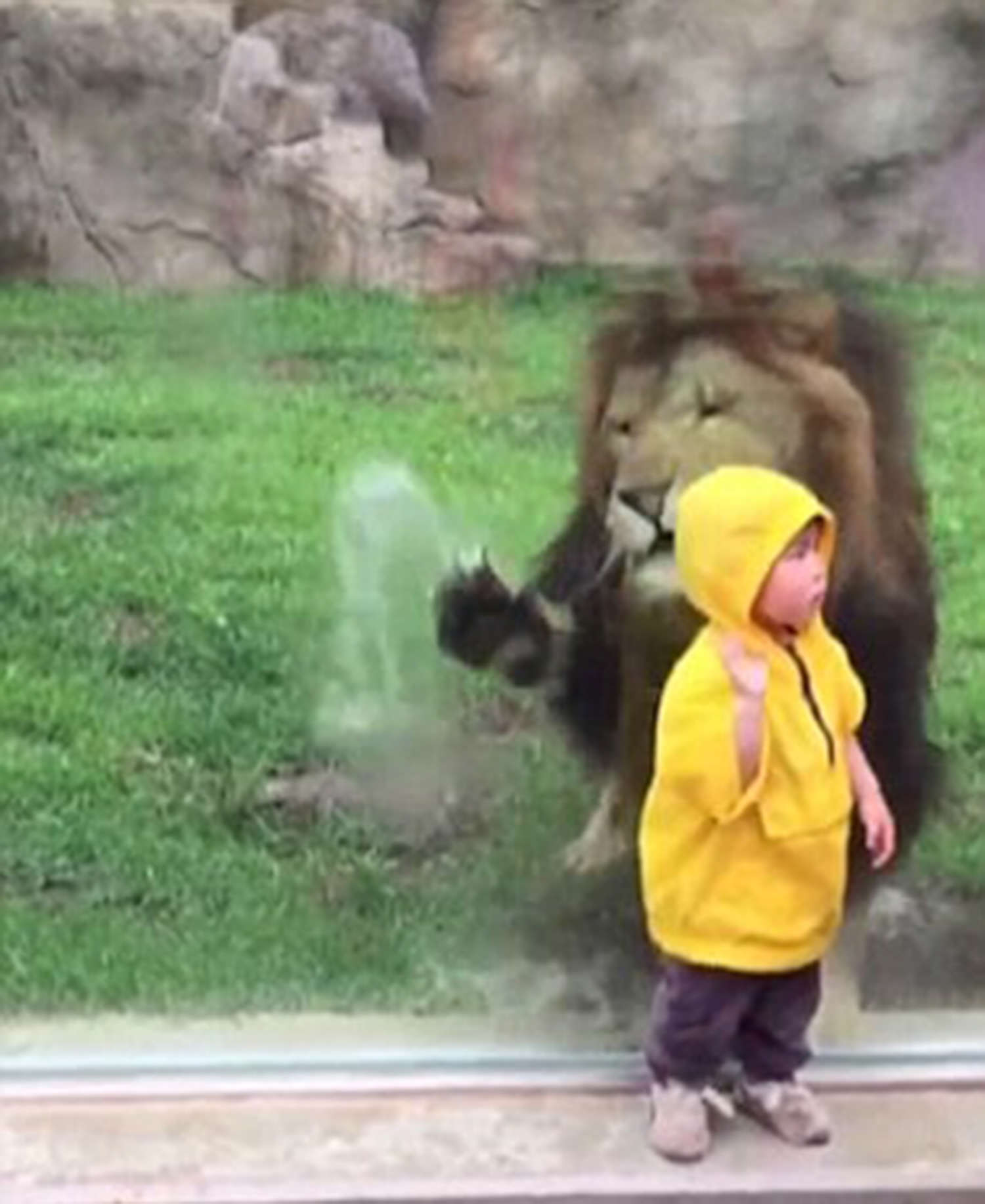 11lion2 2911063a Terrifying Moment Lion Tries To Attack Toddler In Zoo