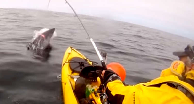 face shark Terrifying Video Shows Moment Kayak Fisherman Catches Shark In Ireland