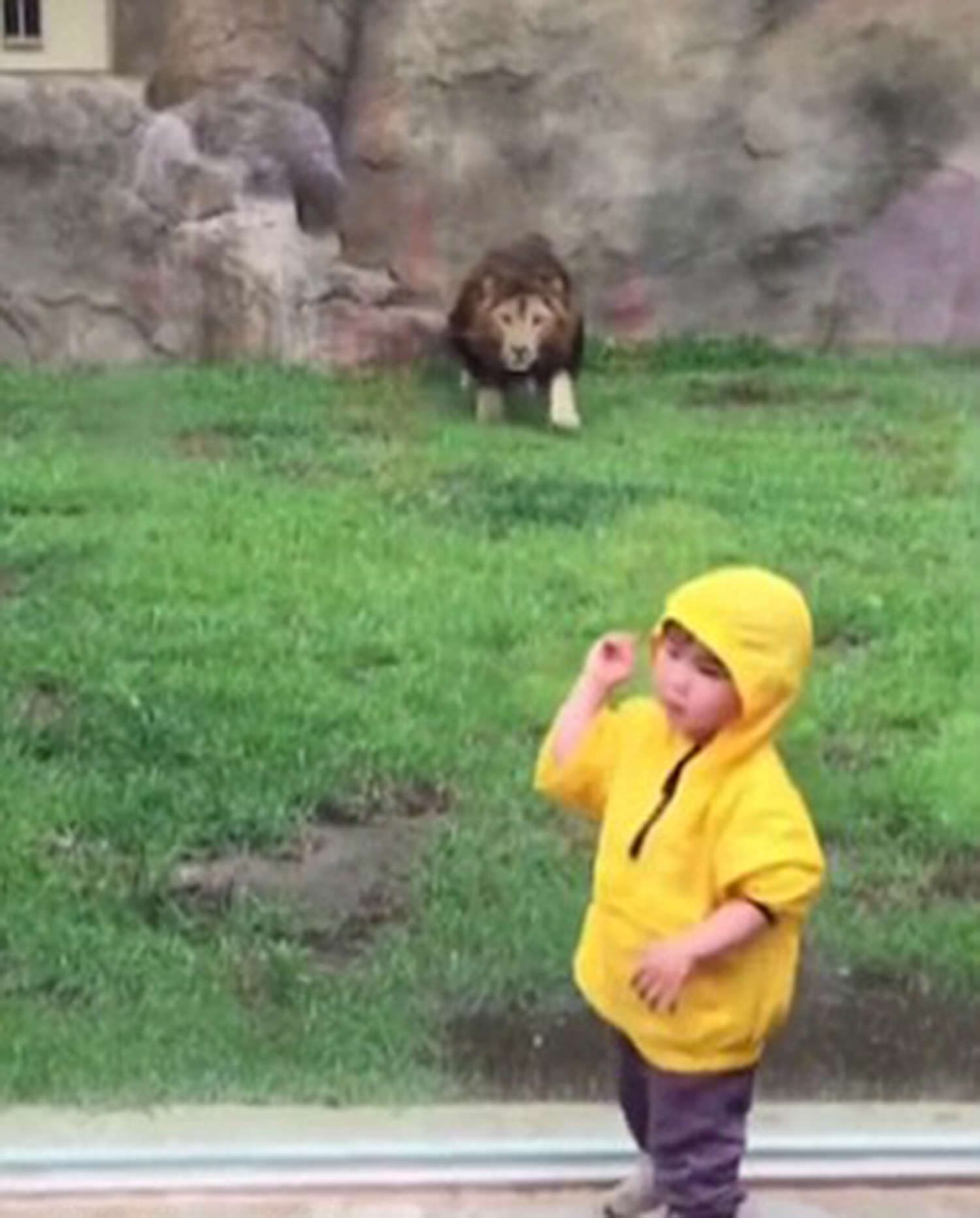 lion5 2911060a Terrifying Moment Lion Tries To Attack Toddler In Zoo