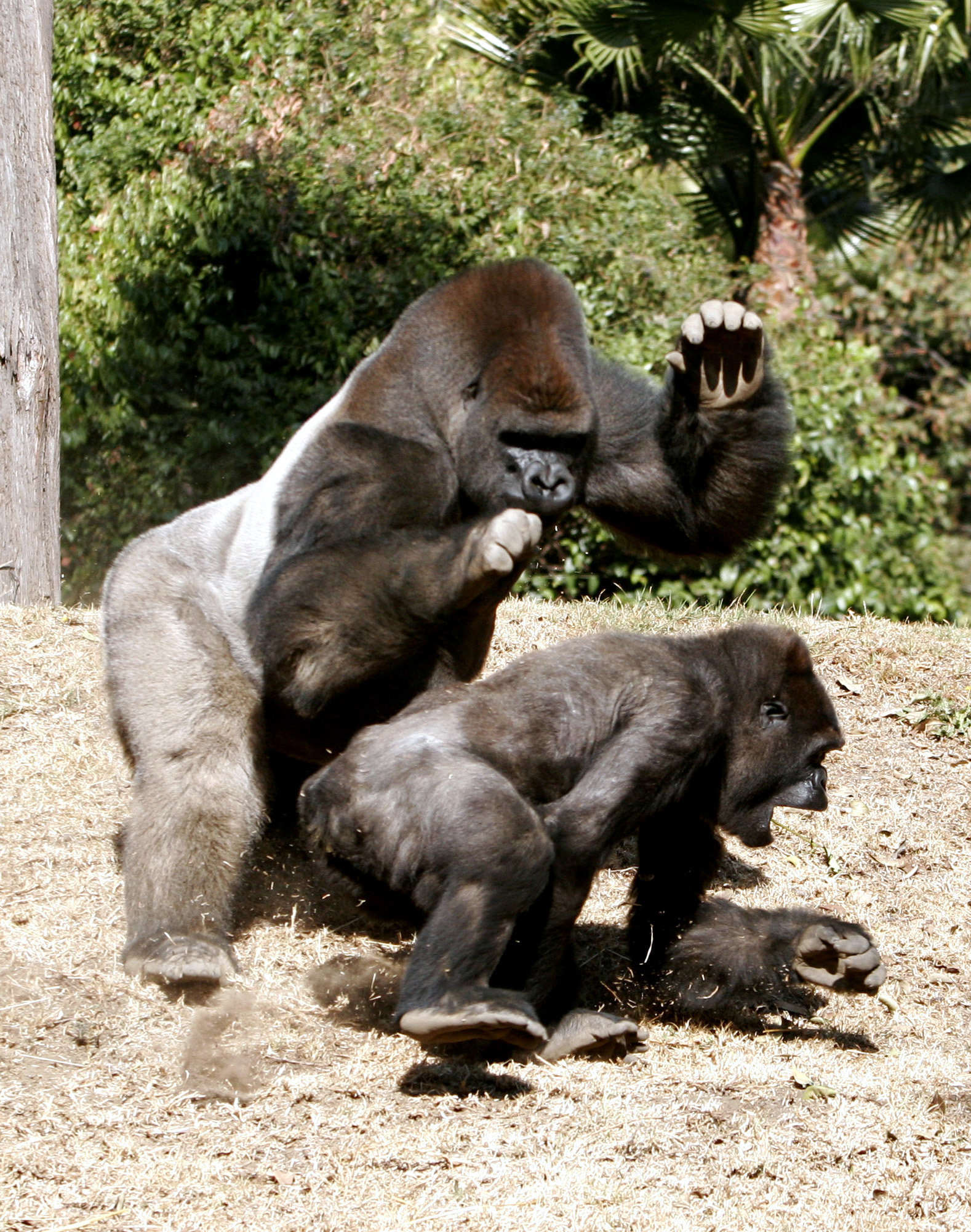 Another Gorilla Has Been Killed In Captivity bantu1
