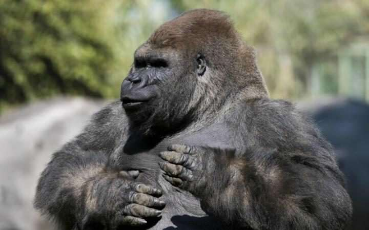 Another Gorilla Has Been Killed In Captivity bantu33