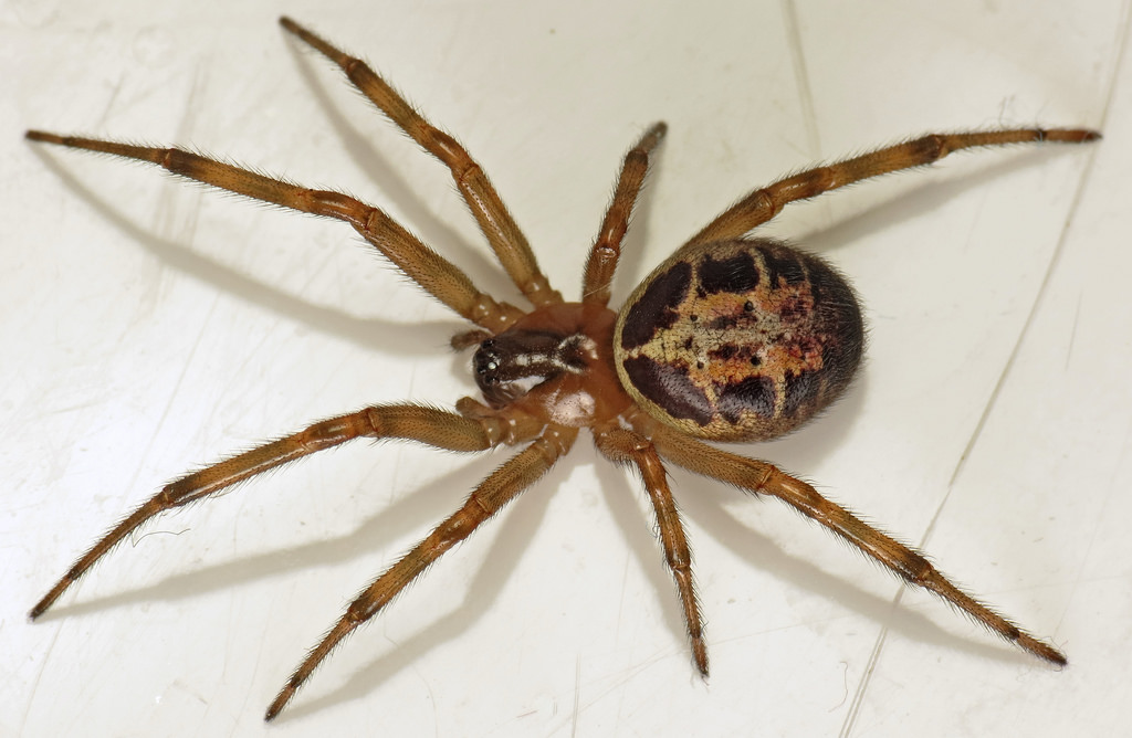 As False Widow Spiders Spread Here 39 S How To Spot One And Treat Bite