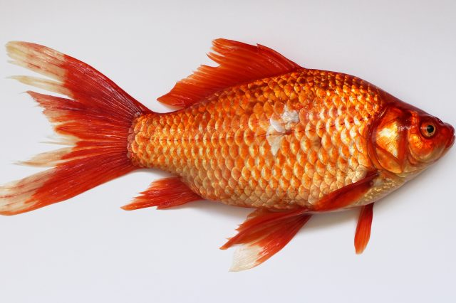 Carassius wild golden fish 2013 G1 640x426 Australia Is Being Invaded   By F*cking Massive Goldfish