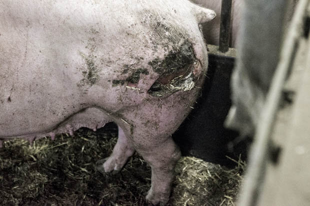 Shocking Video Shows Horrific Conditions At UK Pig Farm pigs3