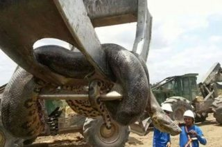 Workmen Find 'Largest Snake On Earth' And It's Terrifying