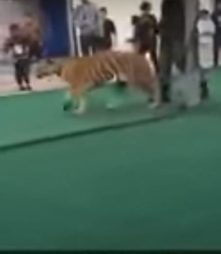 18993UNILAD imageoptim Tiger2 Shocking Snapchat Footage Shows Girl Attacked By Tiger On Leash