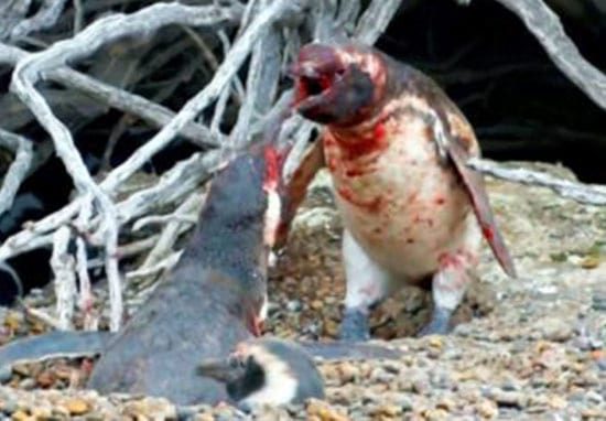 Vicious Battle Between Penguins Over Cheating Wife