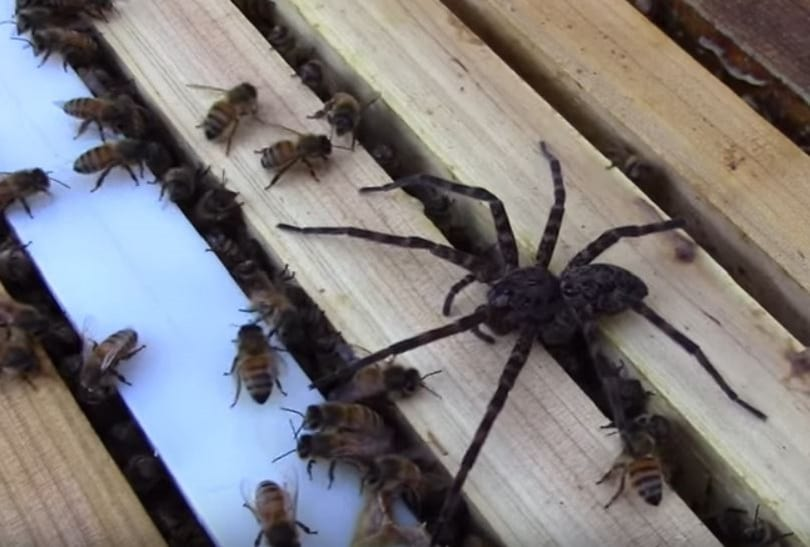 This Fight Between A Swarm Of Bees And Giant Spider Is Absolutely Savage 7705UNILAD imageoptim Spider