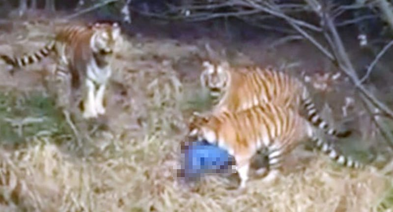 Tourist 'mauled to death' after CLIMBING into tiger enclosure at zoo