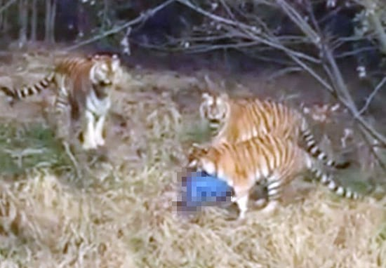 Insane Reason Man Jumped Into Tiger Enclosure Revealed