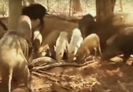 Pigs Brutally Tear Giant Python To Pieces In Savage Revenge Attack