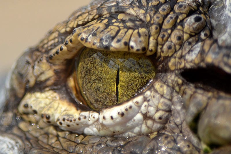 Teenager Jumped Into Crocodile Infested River To Impress Girl 112 croceye44